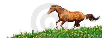 Trakehner Stallion Gallops In Field Royalty Free Stock Photography - Image: 13147207