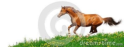 Trakehner stallion gallops in field