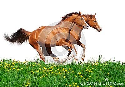Trakehner stallions gallop in field