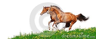 Trakehner Stallions galoppieren auf dem Gebiet