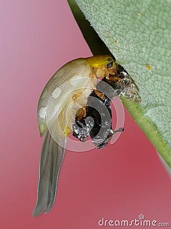 Transformation lady bug