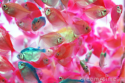 The translucent colorful tropical fish