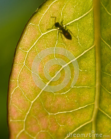 A translucent leaf with ant
