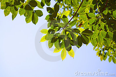 Translucent Para rubber tree leaves in summer