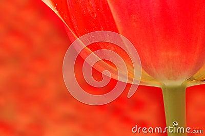 Translucent Tulip Background