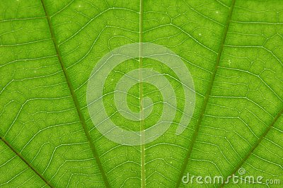 Transparent green color leaf