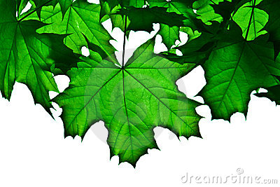 Transparent green maple leafs