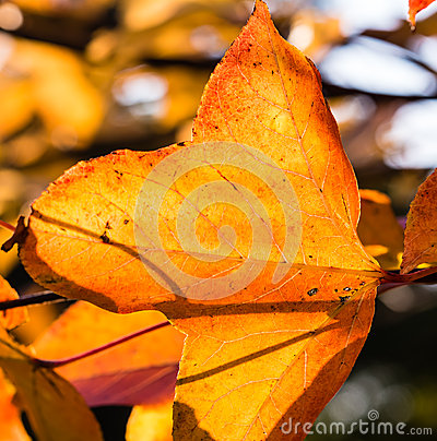 Transparent Red Leaves in Backlight