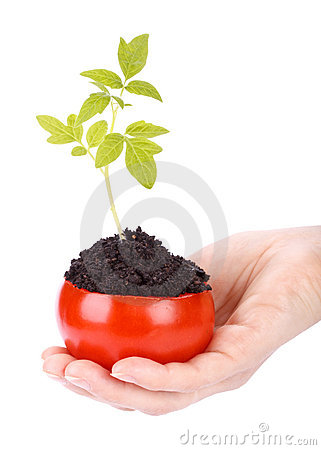 Transplant of a tree in a pot from fresh tomato