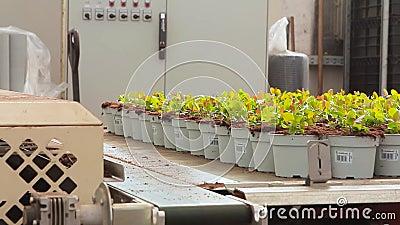 Transportörlinje i ett modernt växthus, växthus med en automatiserad transportör, blommor i krukor på en transportör