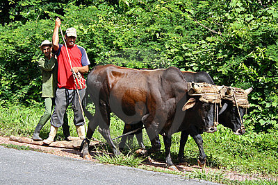 Transport by Oxen, Cuba Editorial Photography