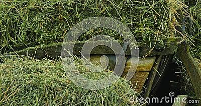 Transporte de madeira com feno carros de madeira com grama seca Pacotes do feno Roda de madeira antiquity filme