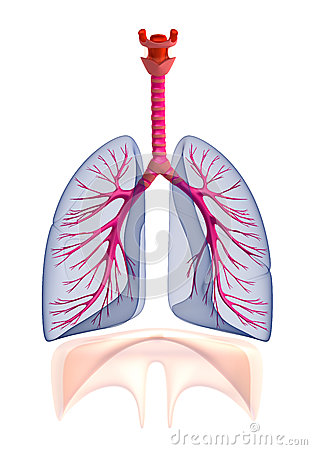 Transtarent human lungs anatomy.  on white