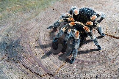 Trap-door spider