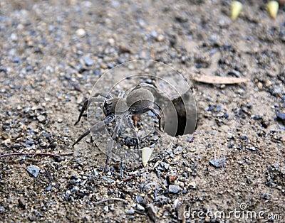 Trapdoor Spider, Australia