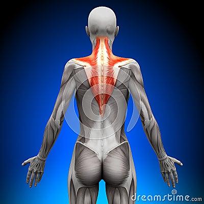 Free Trapezius - Female Anatomy Muscles Royalty Free Stock Photos - 41041578