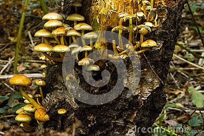 Trate fungos do topete em um coto de árvore 2