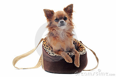 Travel bag and chihuahua