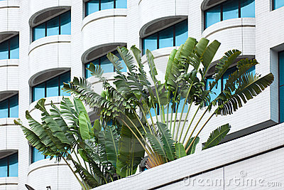 Traveler palm and building