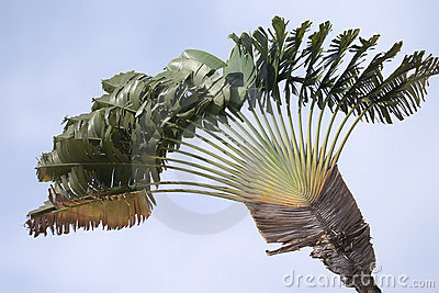 Traveler s palm (Ravenala madagascariensis)
