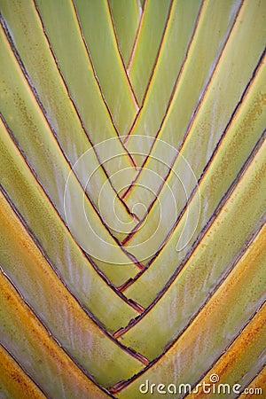 Travellers- tree leaf