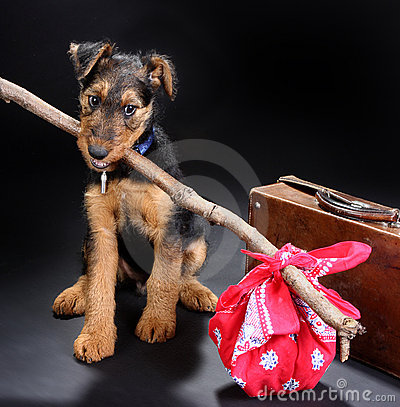 Free Travelling Terrier Royalty Free Stock Image - 3289936