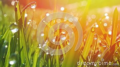 Trawa z kroplami rosy porannej Zrzut z miękkim ogniskiem Tło abstrakcyjne zbiory
