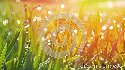 Trawa z kroplami rosy porannej Zrzut z miękkim ogniskiem Tło abstrakcyjne zdjęcie wideo