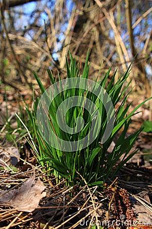 Trawy zieleni czub
