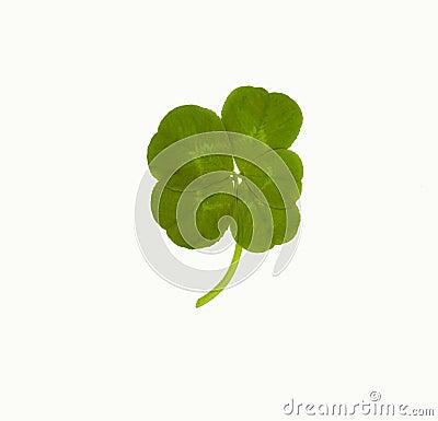 Trébol afortunado de cinco hojas