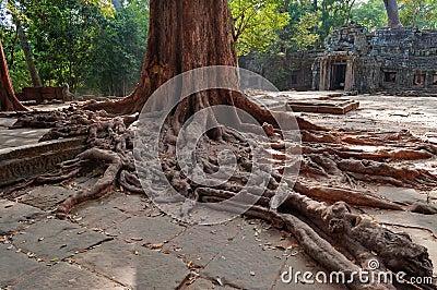 Trädet rotar i tempel för Ta Prohm. Angkor. Cambodja