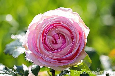 Trädgårds- Rose