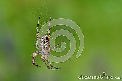 Trädgårds- spindel