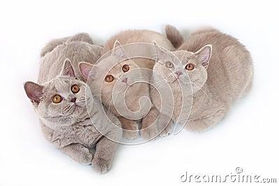 Tre British katt.