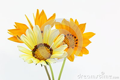 Treasure flower on a white background