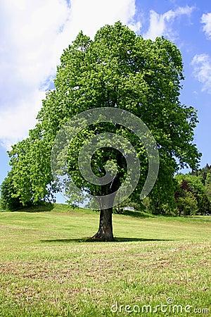 Free Tree Royalty Free Stock Image - 28176
