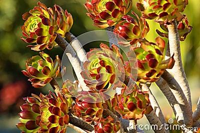 The Tree Aeonium