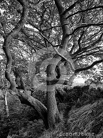 Free Tree Against A Dry Stone Wall Stock Images - 88636704