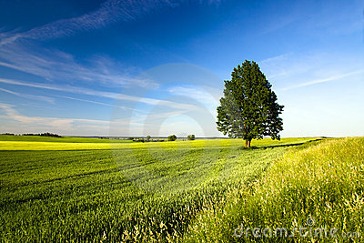 Tree in the agricultural field