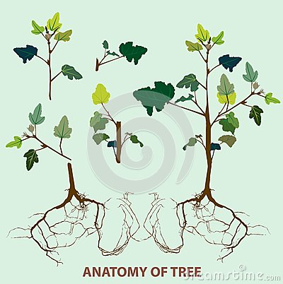 Tree anatomy  top to root