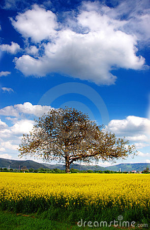 Free Tree And Rape Stock Photography - 5114682