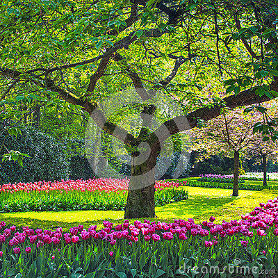 Free Tree And Tulip Flowers Garden Or Field In Spring. Netherlands Royalty Free Stock Images - 31786829