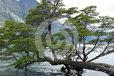 Tree, Argentina