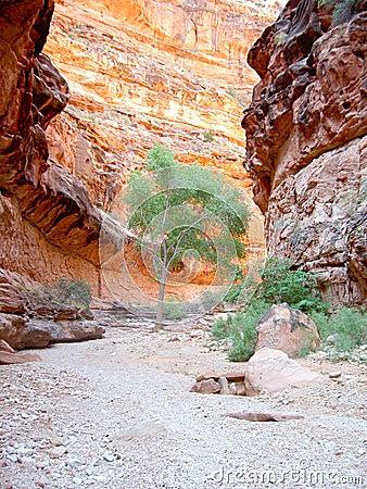 Tree in Arizona canyon