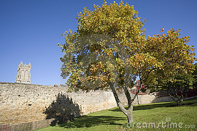 Tree in autumn leaf church grounds of glastonbury abbey estate
