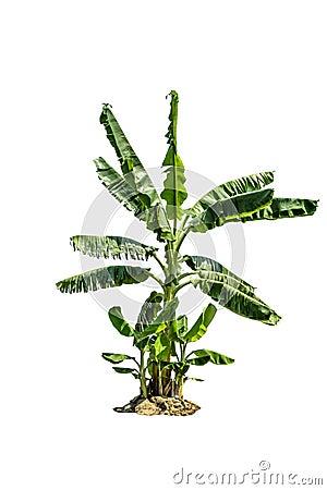 Free Tree (Banana Tree) Isolated On White Background Royalty Free Stock Photo - 88739265