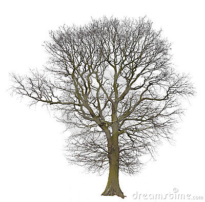 Tree bare isolated