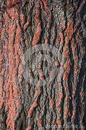 Free Tree Bark Background Royalty Free Stock Photography - 119685157