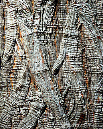 Tree Bark - Montezuma Cypress