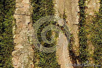Tree Bark Moss